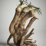 Horseradish_2012_12_01 9109